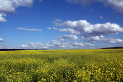Yellow flower field under blue cloudy sky Stock Photography
