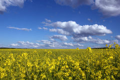 Yellow flower field under blue sky Stock Images