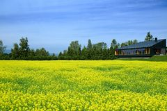 Yellow flower fields Stock Photography