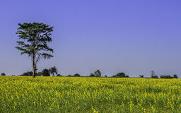 Yellow flower fields. In North-east of Thailand Stock Photos