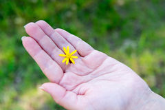 Yellow flower between fingers of the hand. Hygiene and hand care. Heromantiya. Guessing on the arm. Royalty Free Stock Image