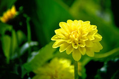 Yellow flower Royalty Free Stock Photos