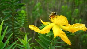 Yellow, Flower, Flora, Honey Bee Royalty Free Stock Photography