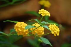 Yellow, Flower, Flora, Lantana Camara
