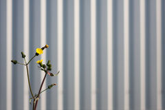 Yellow flower. S against corrugated metal wall background stock image