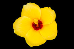 Yellow flower. S on a black background stock image