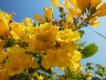 Yellow Flower flowers closeup on frutex with beautifuly blue sky and green leaf Stock Photography