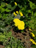 Yellow flower. S with green leaves Royalty Free Stock Images