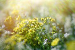 Yellow flower - flowers in meadow lit by sunbeams sunlight. Yellow flower - flowers in meadow, beautiful nature in spring Royalty Free Stock Photography