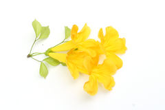 Yellow flower. S are on white background Stock Images