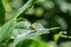 Yellow flower fly on green leaf Royalty Free Stock Images