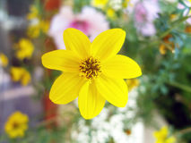 Yellow flower. Fragile yellow flower close up Royalty Free Stock Photos