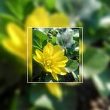 Yellow flower in the frame Royalty Free Stock Photos