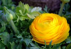 Yellow flower. In the garden Stock Photography