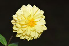YELLOW FLOWER. IN THE GARDEN Royalty Free Stock Photography