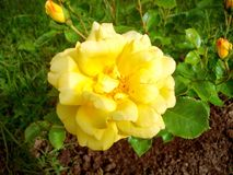 Yellow flower. From garden Royalty Free Stock Photos