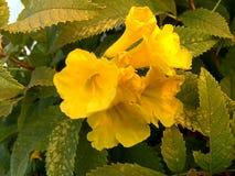 Yellow Flower. Yellow garden Flower Royalty Free Stock Photography