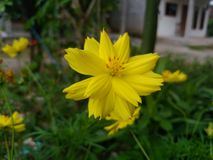 Yellow flower in the garden. Yellow beautiful flower blooming in the garden stock photos