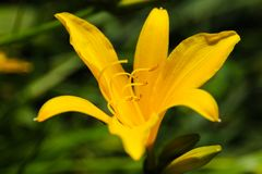 Yellow flower in the garden. A beautiful yellow flower in the garden with green background royalty free stock image