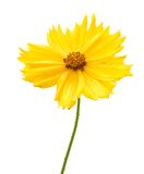 Yellow flower of garden Coreopsis Royalty Free Stock Image