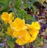 Yellow Flower. Yellow garden Flower with five petals Stock Photo