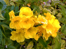 Yellow Flower. Yellow garden flowers with five petals Royalty Free Stock Image