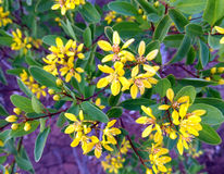 Yellow Flower. Yellow garden Flower of indian subcontinent Stock Photography
