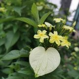 Yellow flower in Garden. Kualalumpur, nature, background, love, shape, green stock images