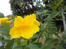 Yellow flower in garden. Nature royalty free stock photo