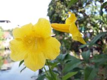 Yellow flower in garden. Nature Royalty Free Stock Photography