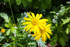 Yellow flower in the garden Royalty Free Stock Images