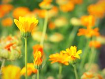 Yellow flower in garden. Shallow DOF Royalty Free Stock Photography