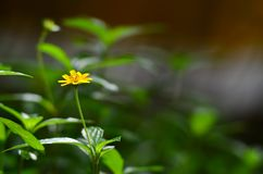 Yellow  flower. Royalty Free Stock Photo