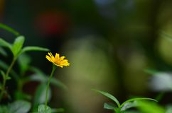 Yellow  flower. Royalty Free Stock Photography
