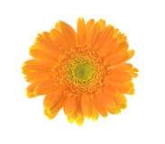 Yellow flower of gerber isolated on white background Royalty Free Stock Photo