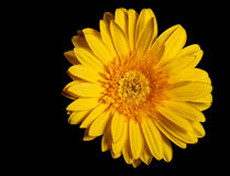 Yellow flower gerbera Royalty Free Stock Photos