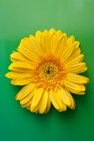 Yellow flower gerbera Stock Photo