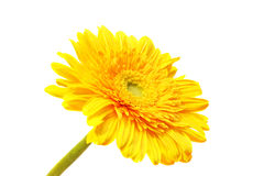 A yellow flower gerbera Royalty Free Stock Photo