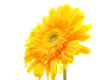 A yellow flower gerbera Royalty Free Stock Photography