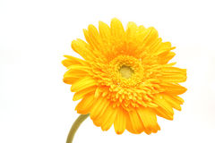A yellow flower gerbera Stock Image