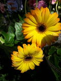 Yellow flower. A yellow gerbera blooming in a park vase Royalty Free Stock Images