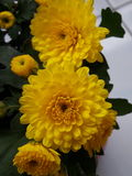 Yellow flower. Yellow chrysanthemum in a vase Royalty Free Stock Photography