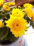 Yellow flower. Yellow chrysanthemum blooming pink vases Stock Photography