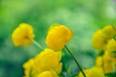 Yellow flower globe-flower. Green leaves, summer Stock Photography