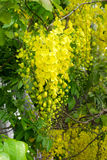 Yellow flower of Golden shower Stock Photos