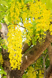 Yellow flower of Golden shower tree Royalty Free Stock Image