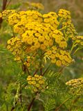 Yellow flower for good mood. Yellow bumper is perfect flower for good mood. It`s poison herb with healing effects. It grows on summer on meadow or forest and royalty free stock photos
