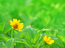 Yellow flower on grass Royalty Free Stock Photos