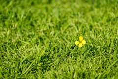 Yellow flower in the grass Royalty Free Stock Photo