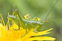 Yellow flower and grasshopper Royalty Free Stock Photo